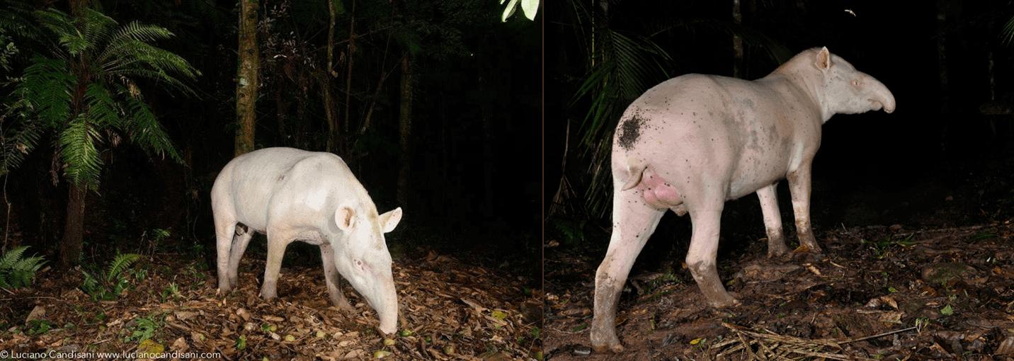 Two albino tapirs